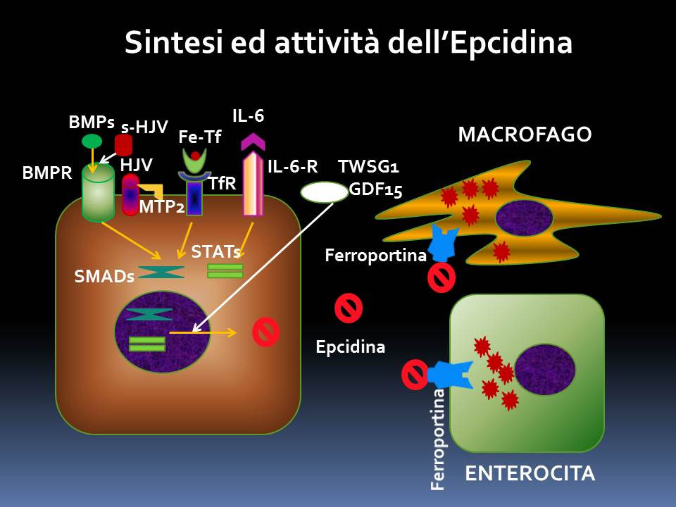 La sintesi dell'epcidina