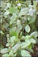 Th verde camelia sinensis green tea extract calvizie - Trapianto camelia ...